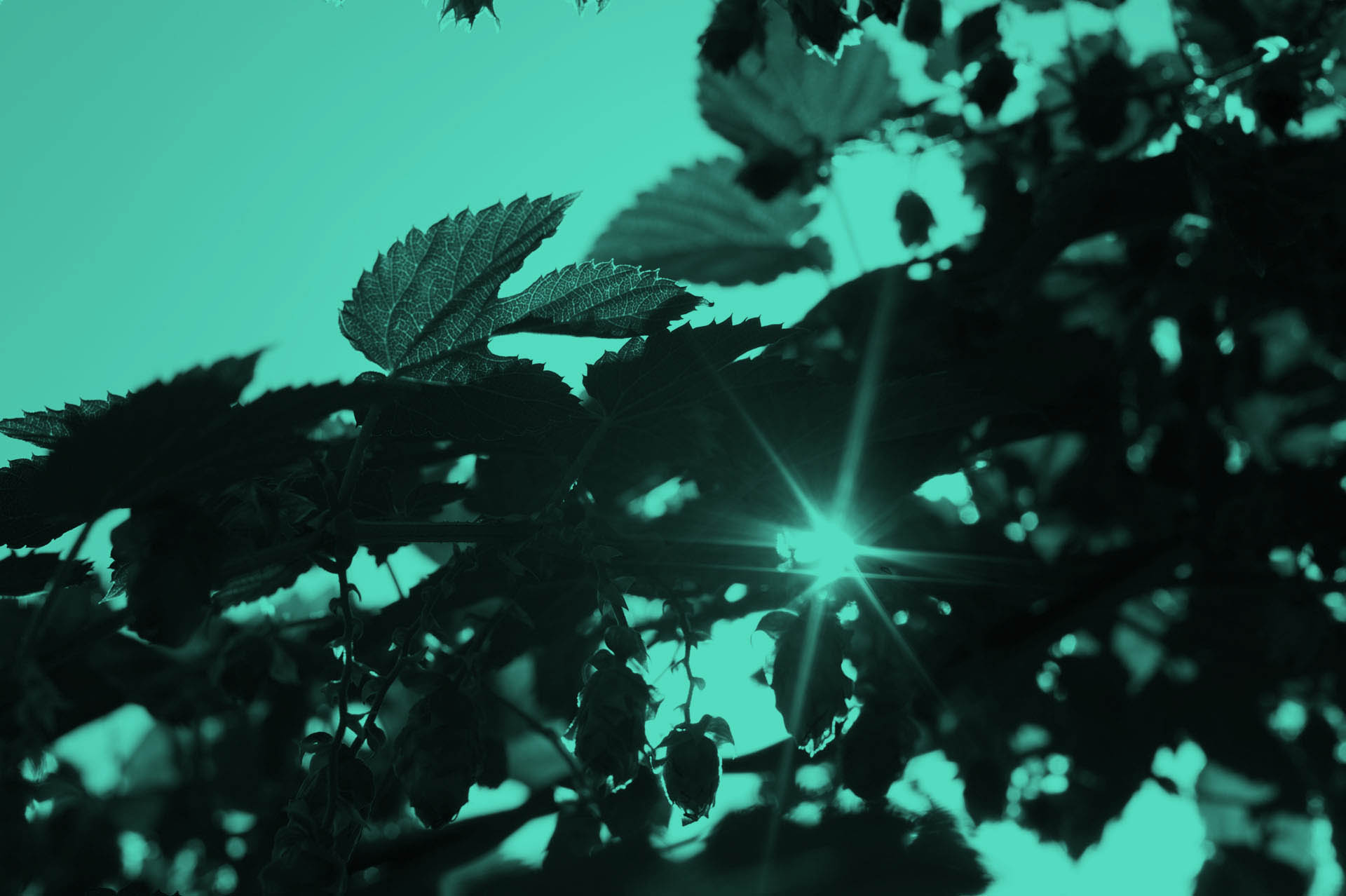 A close view through green leafs hanging from a tree into the blue sky and the sun.